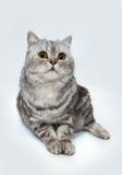 Γκρίζα ριγωτή γάτα επάνω Στοκ εικόνα με δικαίωμα ελεύθερης χρήσης