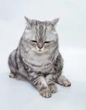 Γκρίζα ριγωτή γάτα επάνω Στοκ εικόνες με δικαίωμα ελεύθερης χρήσης