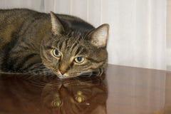 Γκρίζα ριγωτή εσωτερική γάτα στοκ εικόνες