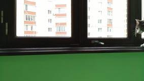 Γκρίζα ριγωτή τιγρέ γάτα jumpig από τη στρωματοειδή φλέβα μπαλκονιών απόθεμα βίντεο