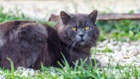 Γκρίζα σκωτσέζικη γάτα πτυχών στη φύση στοκ εικόνα