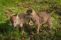 Γκρίζα στάση κουταβιών Λύκου Canis λύκων από κοινού Στοκ Φωτογραφία
