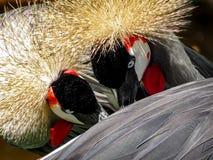 Γκρίζα στεμμένη ερωτοτροπία ζεύγους Balearica Regulorum γερανών στοκ εικόνες