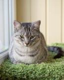 Γκρίζα συνεδρίαση γατών στο πεζούλι Πορτρέτο της μεγάλης γάτας Στοκ Εικόνες