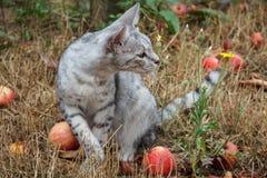 Γκρίζα συνεδρίαση γατών στη χλόη μεταξύ των μήλων Στοκ Φωτογραφίες