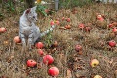 Γκρίζα συνεδρίαση γατών στη χλόη μεταξύ των μήλων Στοκ Φωτογραφία