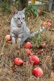 Γκρίζα συνεδρίαση γατών στη χλόη μεταξύ των μήλων Στοκ φωτογραφία με δικαίωμα ελεύθερης χρήσης