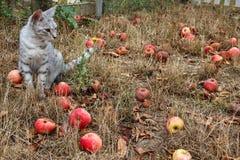 Γκρίζα συνεδρίαση γατών στη χλόη μεταξύ των μήλων Στοκ Εικόνες