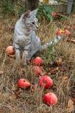 Γκρίζα συνεδρίαση γατών στη χλόη μεταξύ των μήλων Στοκ Εικόνα