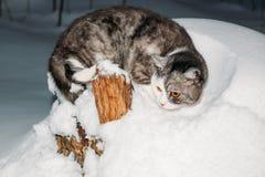 Γκρίζα συνεδρίαση γατών στο χιόνι Στοκ Φωτογραφίες