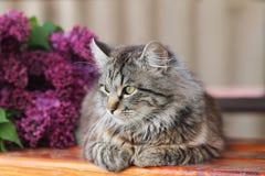 Γκρίζα συνεδρίαση γατών Στοκ Εικόνες