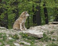 Γκρίζα συνεδρίαση λύκων στο μικρό λόφο Στοκ φωτογραφία με δικαίωμα ελεύθερης χρήσης
