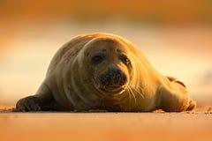 Γκρίζα σφραγίδα, grypus Halichoerus, πορτρέτο λεπτομέρειας στην παραλία άμμου Σφραγίδα με τον πορτοκαλή ουρανό πρωινού στο υπόβαθ Στοκ εικόνα με δικαίωμα ελεύθερης χρήσης