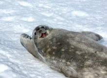 γκρίζα σφραγίδα weddell Στοκ Φωτογραφία