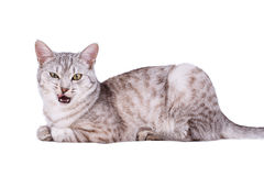 Γκρίζα τιγρέ γάτα ευρωπαϊκά στοκ φωτογραφία με δικαίωμα ελεύθερης χρήσης