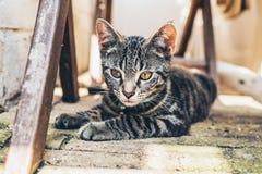 Γκρίζα τιγρέ γάτα με τα έντονα χρυσά μάτια Στοκ φωτογραφίες με δικαίωμα ελεύθερης χρήσης