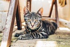 Γκρίζα τιγρέ γάτα με τα έντονα χρυσά μάτια Στοκ εικόνα με δικαίωμα ελεύθερης χρήσης