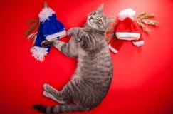 Γκρίζα τιγρέ γάτα που επιλέγει μια χειμερινή εξάρτηση στο κόκκινο υπόβαθρο Δύσκολη απόφαση μεταξύ του κόκκινων και μπλε καπέλου κ Στοκ Φωτογραφίες
