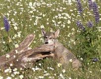 Γκρίζα τοποθέτηση κουταβιών λύκων σε Wildflowers Στοκ φωτογραφίες με δικαίωμα ελεύθερης χρήσης