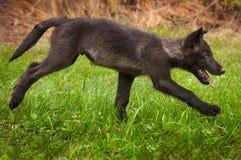 Γκρίζα τρεξίματα κουταβιών Λύκου Canis λύκων σωστά Στοκ Εικόνες