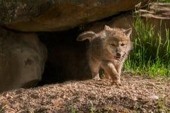 Γκρίζα τρεξίματα κουταβιών λύκων (Λύκος Canis) από το κρησφύγετο με το κρέας Στοκ φωτογραφία με δικαίωμα ελεύθερης χρήσης