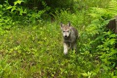 Γκρίζα τρεξίματα κουταβιών λύκων (Λύκος Canis) γύρω από το βράχο Στοκ φωτογραφία με δικαίωμα ελεύθερης χρήσης