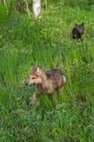 Γκρίζα τρεξίματα κουταβιών λύκων (Λύκος Canis) μέσω της υγρής χλόης Στοκ Φωτογραφίες