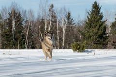 Γκρίζα τρεξίματα Λύκου Canis λύκων προς τα εμπρός μέσω του χιονώδους τομέα Στοκ εικόνα με δικαίωμα ελεύθερης χρήσης