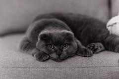 Γκρίζα φυλή Βρετανός γατών Λίγη γάτα Βρετανού pets στοκ εικόνα