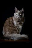 Γκρίζα φωτογραφία στούντιο γατών Στοκ Εικόνες