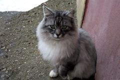 Γκρίζα χνουδωτή γάτα με τα πράσινα μάτια στο χειμερινό χιόνι οδών στοκ εικόνα με δικαίωμα ελεύθερης χρήσης