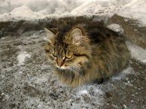 Γκρίζα χνουδωτή γάτα Στοκ εικόνες με δικαίωμα ελεύθερης χρήσης
