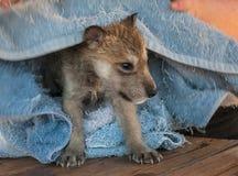 Γκρίζα ώρα για ύπνο κουταβιών λύκων (Λύκος Canis) Στοκ Εικόνες