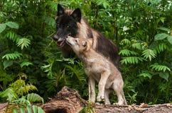 Γκρίζα Sniffs κουταβιών λύκων (Λύκος Canis) στο μαύρο λύκο Στοκ Εικόνα