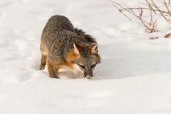 Γκρίζα Sniffs cinereoargenteus Urocyon αλεπούδων στο χιόνι Στοκ Εικόνες