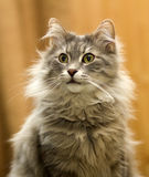 Γκρίζα tom γάτα Στοκ φωτογραφία με δικαίωμα ελεύθερης χρήσης