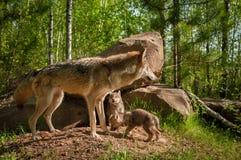 Γκρίζες στάσεις Λύκου Canis λύκων μπροστά από το κρησφύγετο με τα κουτάβια Στοκ εικόνα με δικαίωμα ελεύθερης χρήσης