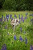 Γκρίζες στάσεις Λύκου Canis λύκων στον τομέα Lupine Στοκ εικόνα με δικαίωμα ελεύθερης χρήσης