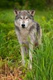 Γκρίζες στάσεις λύκων (Λύκος Canis) στη χλόη που κοιτάζει έξω Στοκ Φωτογραφία
