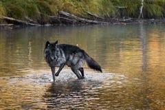 Γκρίζες στάσεις λύκων (Λύκος Canis) στον ποταμό Στοκ Εικόνες