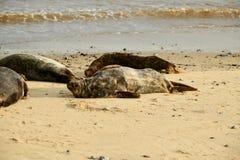 Γκρίζες σφραγίδες που βρίσκονται στην παραλία Horsey Gap στοκ εικόνα