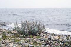 Γκρίζες mugwort εγκαταστάσεις Στοκ Φωτογραφία