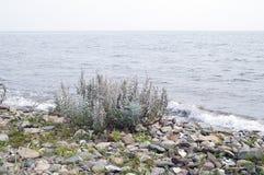Γκρίζες mugwort εγκαταστάσεις Στοκ Εικόνες