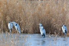 Γκρίζοι ερωδιός & x28 Ardea cinerea& x29  Ομάδα, το χειμώνα στοκ εικόνα