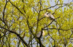 Γκρίζοι ερωδιοί (Ardea φαιάς ουσίας) στο δέντρο Στοκ φωτογραφίες με δικαίωμα ελεύθερης χρήσης
