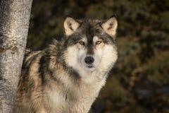 Γκρίζοι λόρδοι Λύκου Canis λύκων γύρω από το δέντρο Στοκ φωτογραφία με δικαίωμα ελεύθερης χρήσης