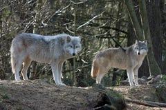 γκρίζοι λύκοι Στοκ Φωτογραφία