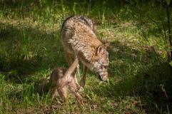 Γκρίζοι Λύκος Canis λύκων και Sniff κουταβιών περίπου Στοκ φωτογραφία με δικαίωμα ελεύθερης χρήσης