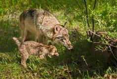 Γκρίζοι μητέρα λύκων (Λύκος Canis) και λόρδος κουταβιών στη σκιά Στοκ Φωτογραφίες