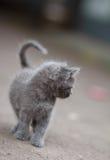 Γκρίζοι περίπατοι γατακιών Στοκ Εικόνες